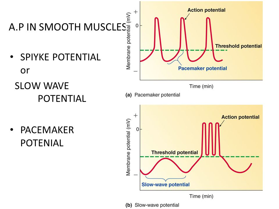 A.P IN SMOOTH MUSCLES SPIYKE POTENTIAL or SLOW WAVE POTENTIAL PACEMAKER POTENIAL