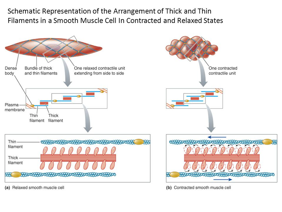 Schematic Representation of the Arrangement of Thick and Thin Filaments in a Smooth Muscle Cell In Contracted and Relaxed States