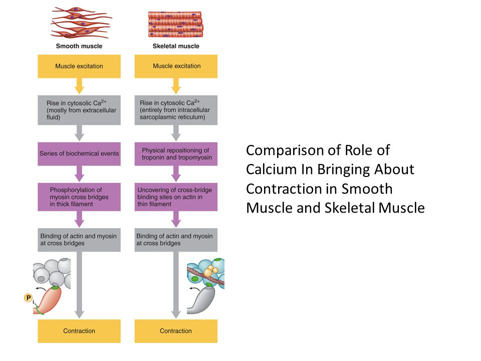 Comparison of Role of Calcium In Bringing About Contraction in Smooth Muscle and Skeletal Muscle