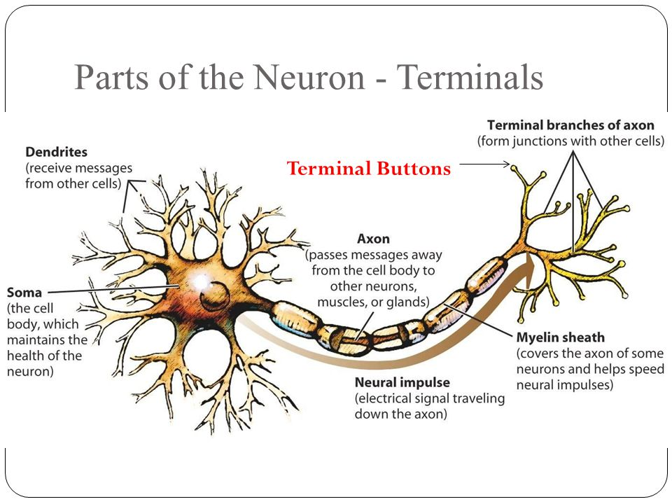 Parts of the Neuron - Terminals Terminal Buttons