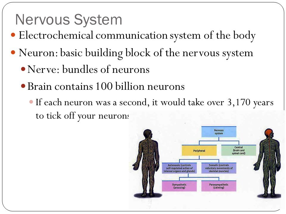 Nervous System Electrochemical communication system of the body Neuron: basic building block of the nervous system Nerve: bundles of neurons Brain con