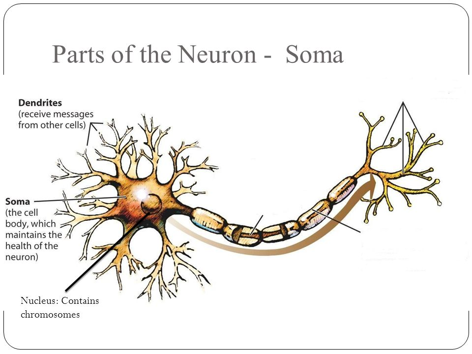 Parts of the Neuron - Soma Nucleus: Contains chromosomes