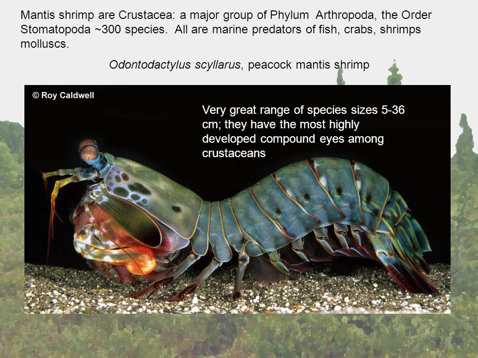 Odontodactylus scyllarus, peacock mantis shrimp Mantis shrimp are Crustacea: a major group of Phylum Arthropoda, the Order Stomatopoda ~300 species.