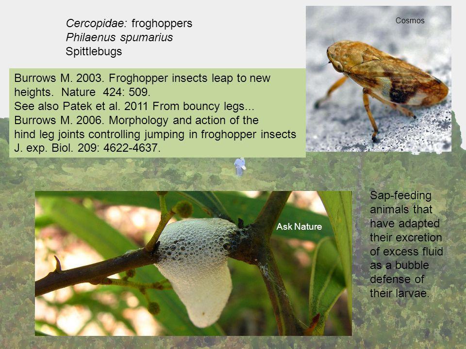 Cercopidae: froghoppers Philaenus spumarius Spittlebugs Cosmos Ask Nature Burrows M.