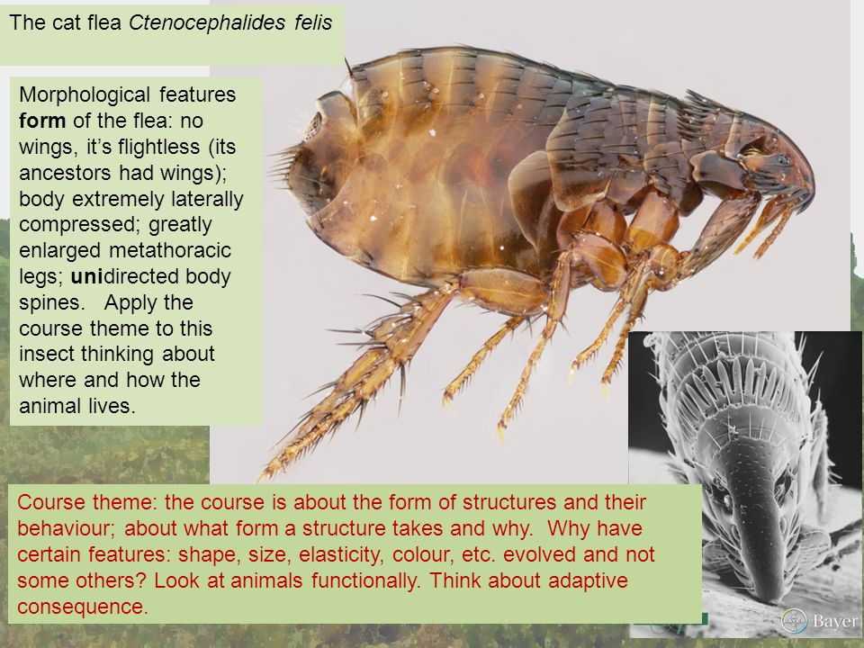 The cat flea Ctenocephalides felis Morphological features form of the flea: no wings, it's flightless (its ancestors had wings); body extremely laterally compressed; greatly enlarged metathoracic legs; unidirected body spines.