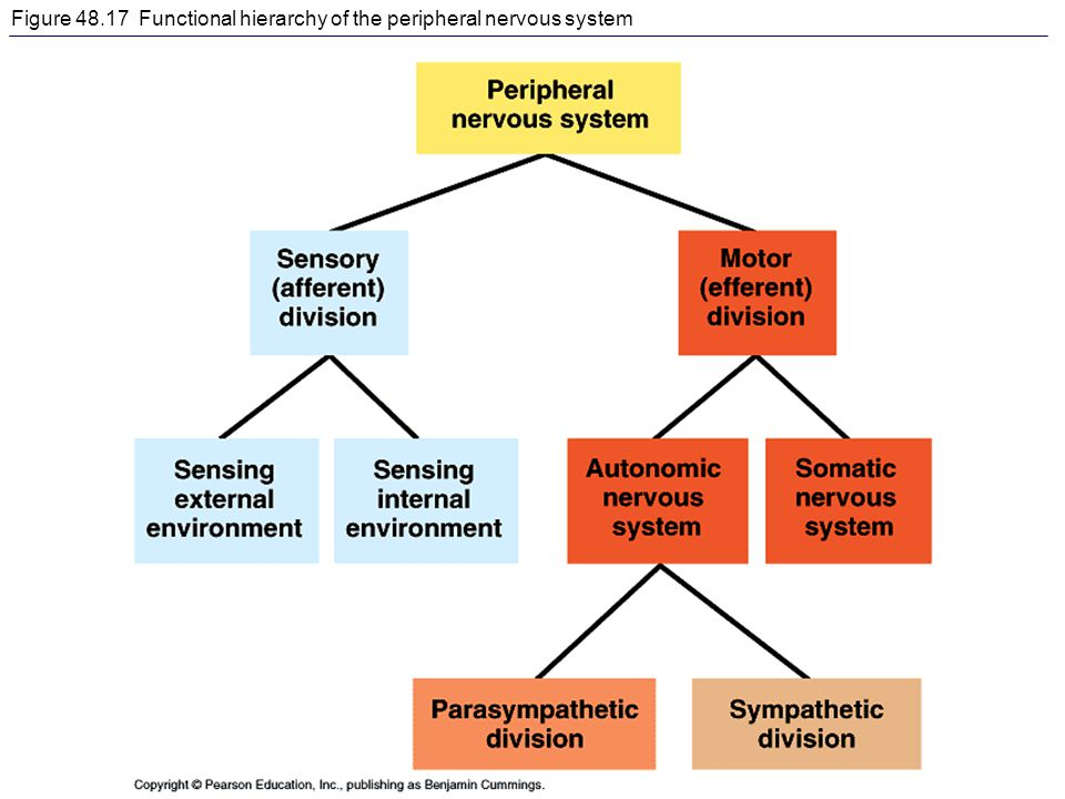 Figure 48.17 Functional hierarchy of the peripheral nervous system