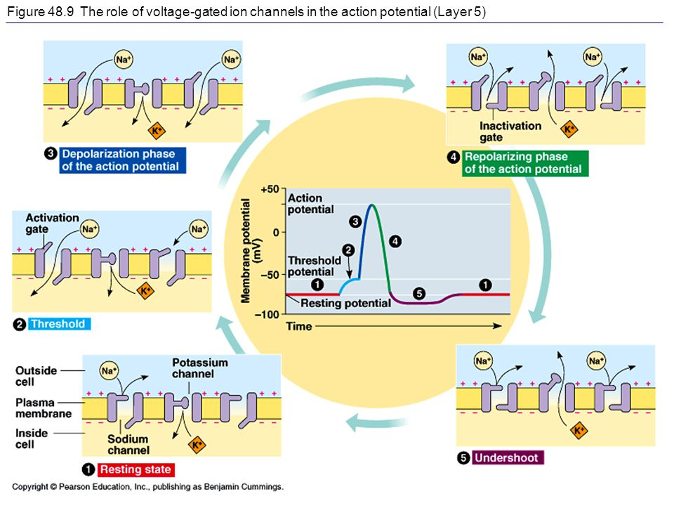 Figure 48.9 The role of voltage-gated ion channels in the action potential (Layer 5)