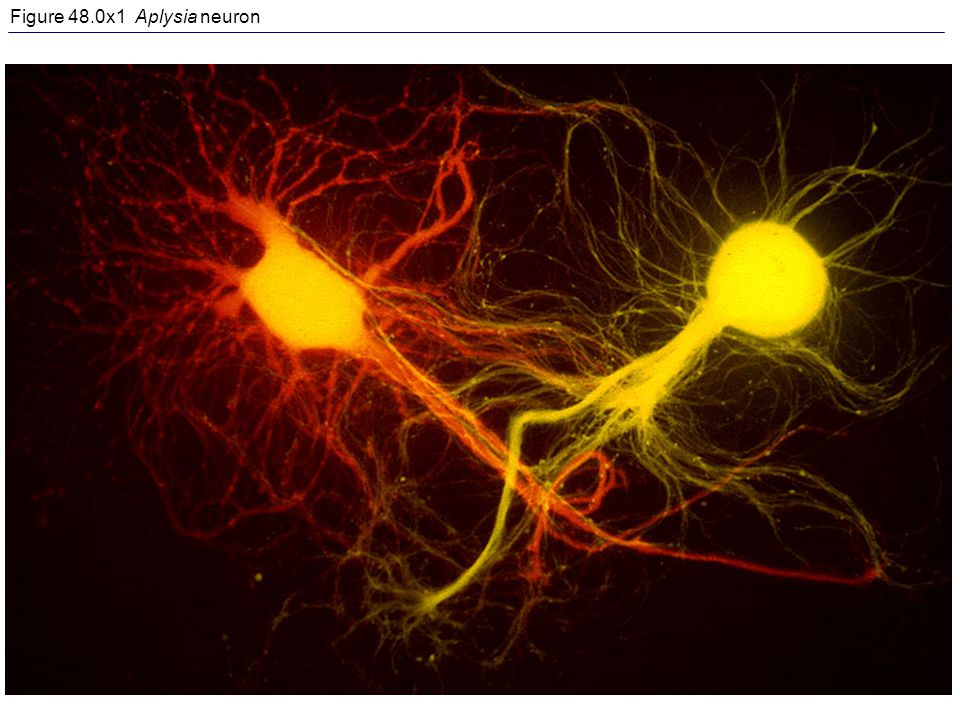 Figure 48.0x1 Aplysia neuron