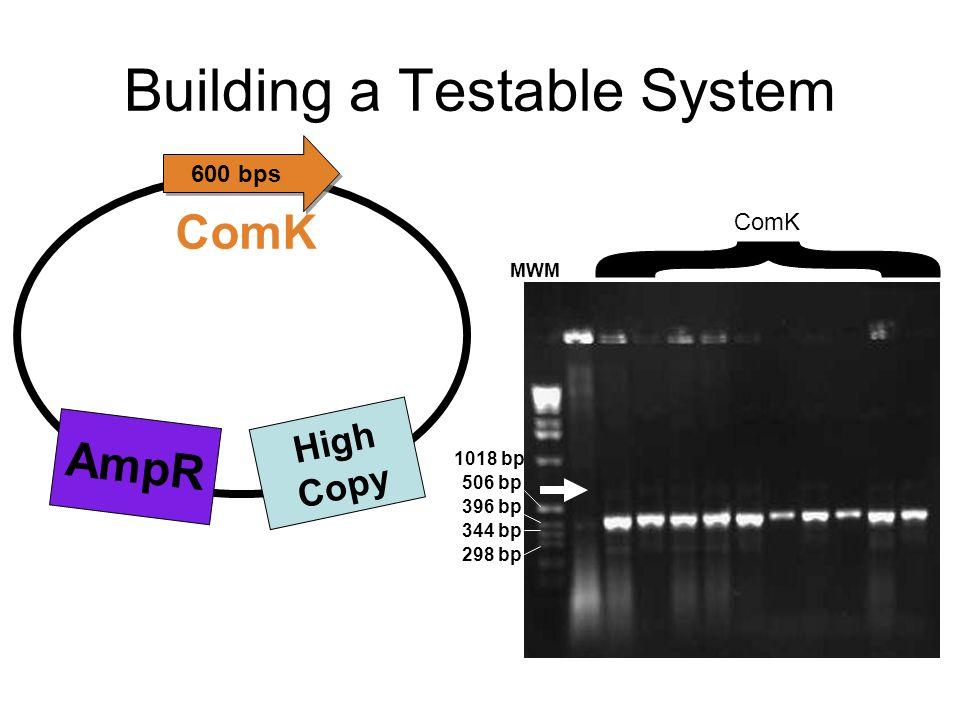 Building a Testable System AmpR ComK High Copy MWM ComK 1018 bp 506 bp 396 bp 344 bp 298 bp 600 bps