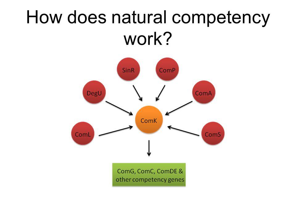 Building a Competent System KanR ComK Low Copy
