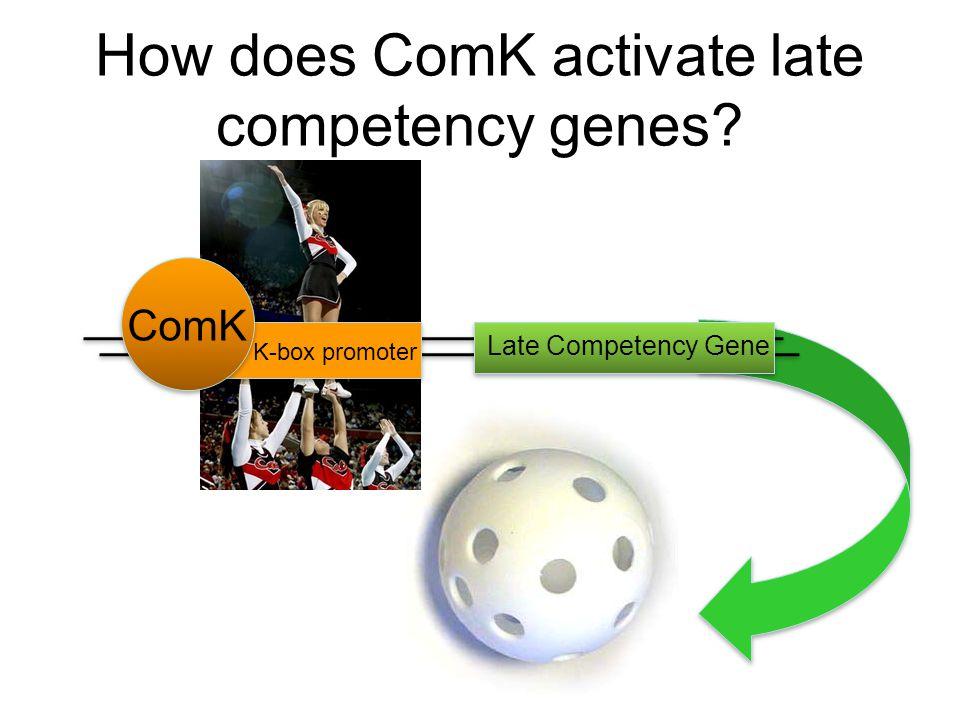Testing Competency ComK / KanPellet CellsRFP / AmpLB + Kan/Amp