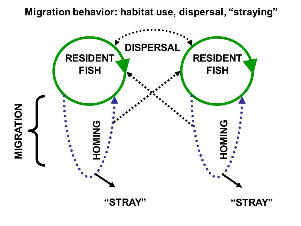 "RESIDENT FISH MIGRATION RESIDENT FISH DISPERSAL HOMING Migration behavior: habitat use, dispersal, ""straying"" ""STRAY"""