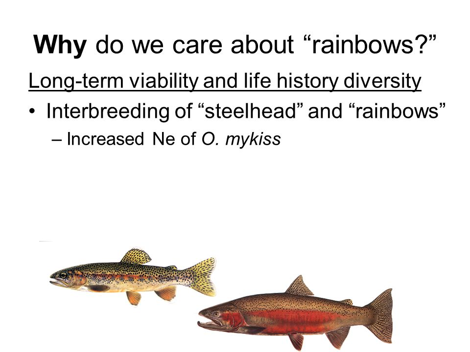 "Why do we care about ""rainbows?"" Long-term viability and life history diversity Interbreeding of ""steelhead"" and ""rainbows"" –Increased Ne of O. mykiss"