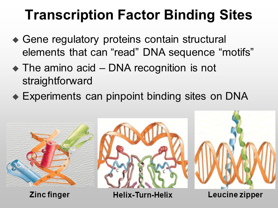 "Transcription Factor Binding Sites  Gene regulatory proteins contain structural elements that can ""read"" DNA sequence ""motifs""  The amino acid – DNA"