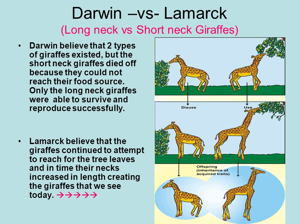 Darwin –vs- Lamarck (Long neck vs Short neck Giraffes) Darwin believe that 2 types of giraffes existed, but the short neck giraffes died off because they could not reach their food source.