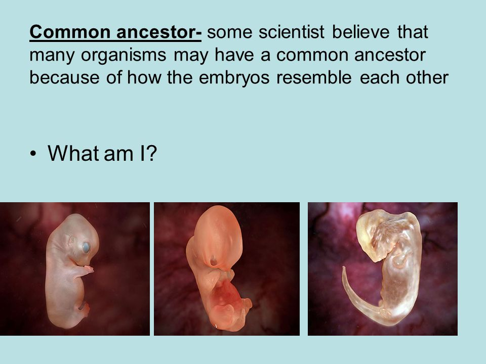 Common ancestor- some scientist believe that many organisms may have a common ancestor because of how the embryos resemble each other What am I?
