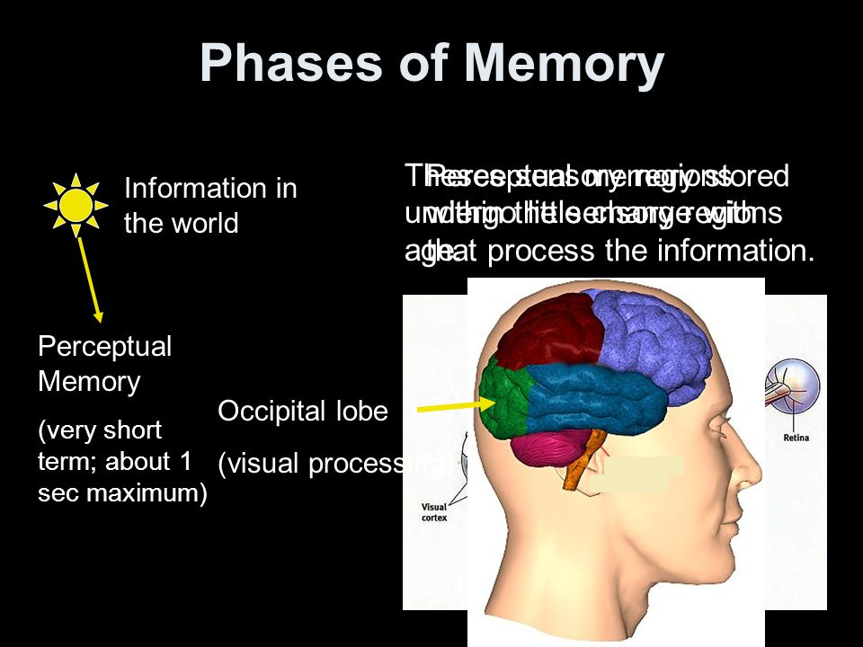 Phases of Memory Information in the world Perceptual Memory (very short term; about 1 sec maximum) Perceptual memory stored within the sensory regions that process the information.