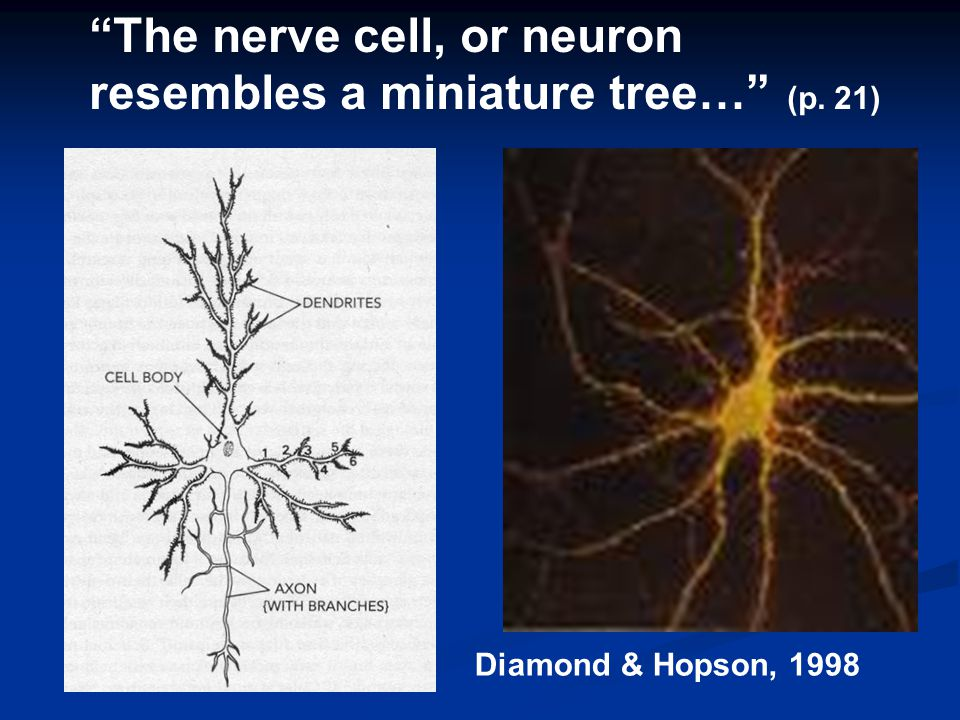 "Diamond & Hopson, 1998 ""The nerve cell, or neuron resembles a miniature tree…"" (p. 21)"