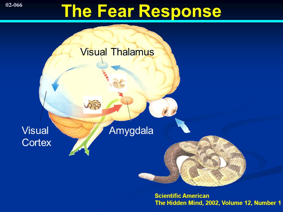02-066 The Fear Response Visual Cortex Visual Thalamus Amygdala Scientific American The Hidden Mind, 2002, Volume 12, Number 1