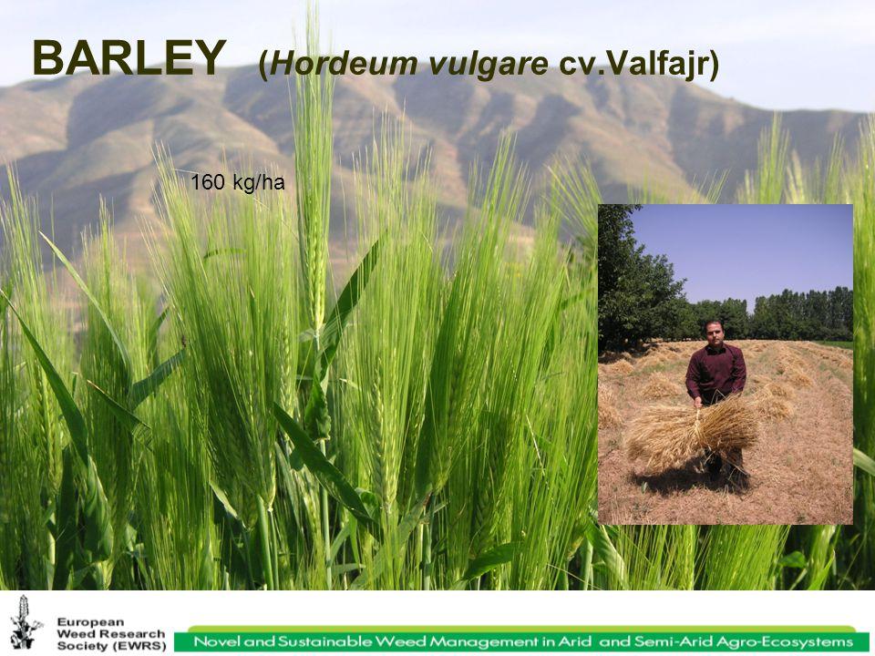 BARLEY (Hordeum vulgare cv.Valfajr) 160 kg/ha