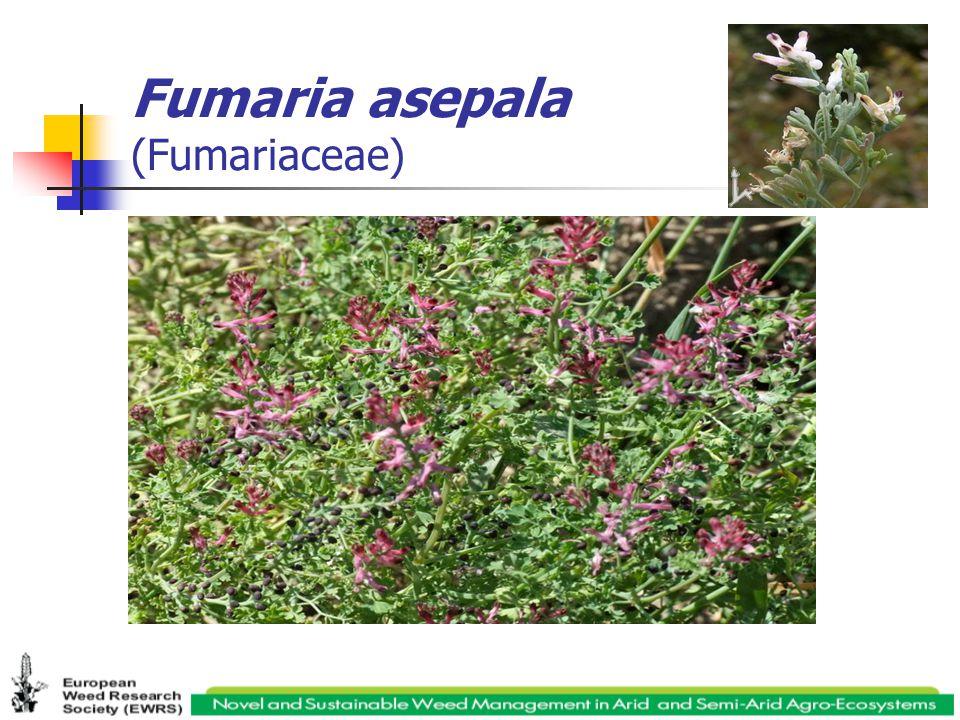 Fumaria asepala (Fumariaceae)
