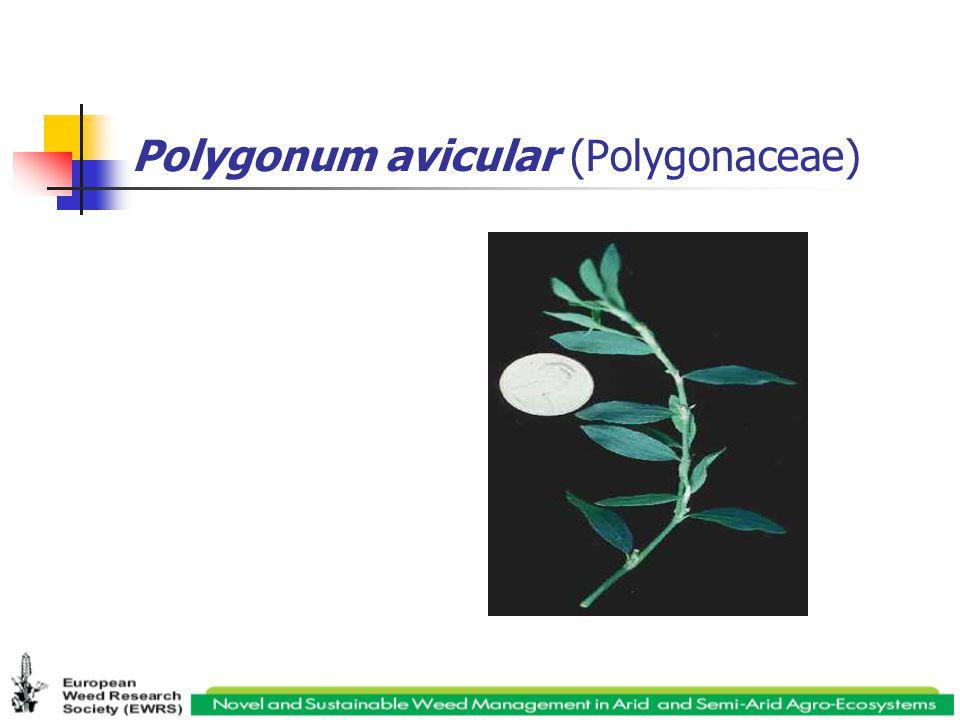 Polygonum avicular (Polygonaceae)