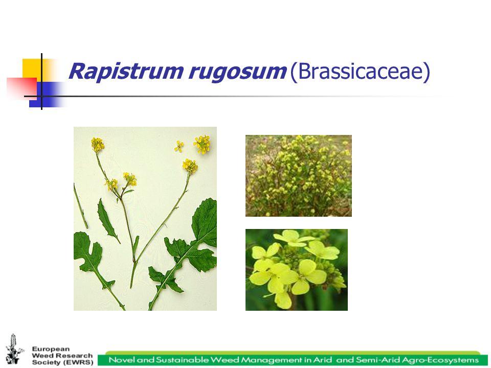 Rapistrum rugosum (Brassicaceae)