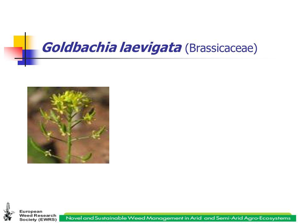 Goldbachia laevigata (Brassicaceae)