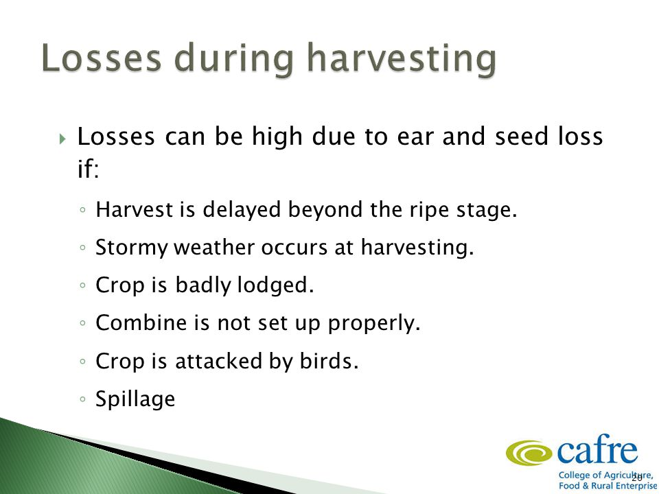 20  Losses can be high due to ear and seed loss if: ◦ Harvest is delayed beyond the ripe stage. ◦ Stormy weather occurs at harvesting. ◦ Crop is badl