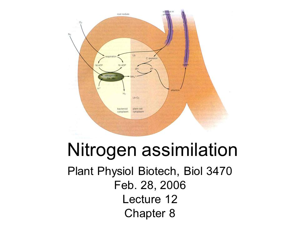Nitrogen assimilation Plant Physiol Biotech, Biol 3470 Feb. 28, 2006 Lecture 12 Chapter 8