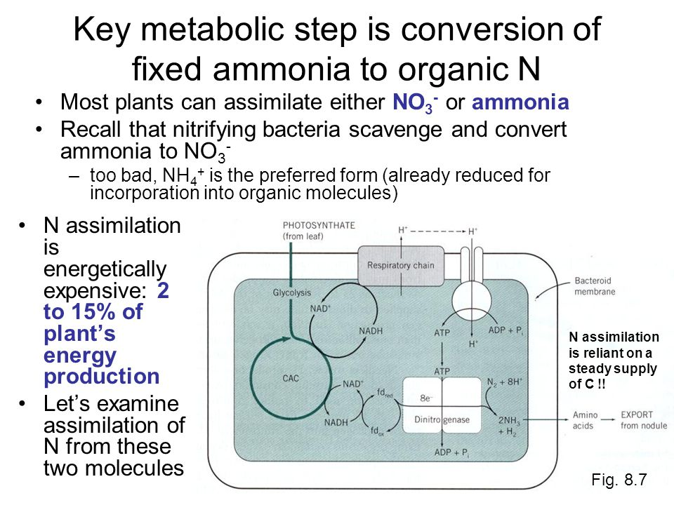 Key metabolic step is conversion of fixed ammonia to organic N N assimilation is energetically expensive: 2 to 15% of plant's energy production Let's examine assimilation of N from these two molecules Fig.