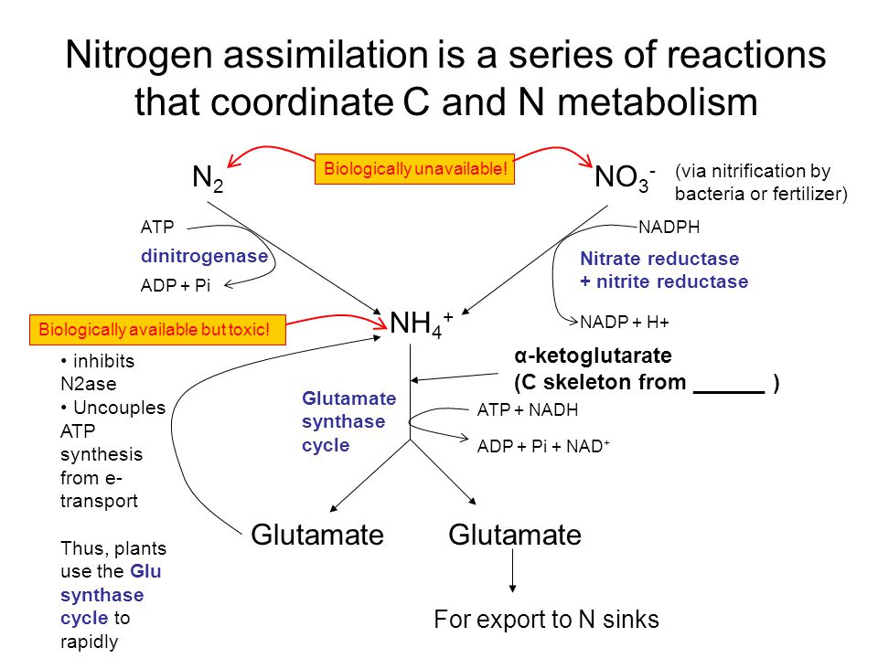 Nitrogen assimilation is a series of reactions that coordinate C and N metabolism N2N2 NO 3 - Biologically unavailable.