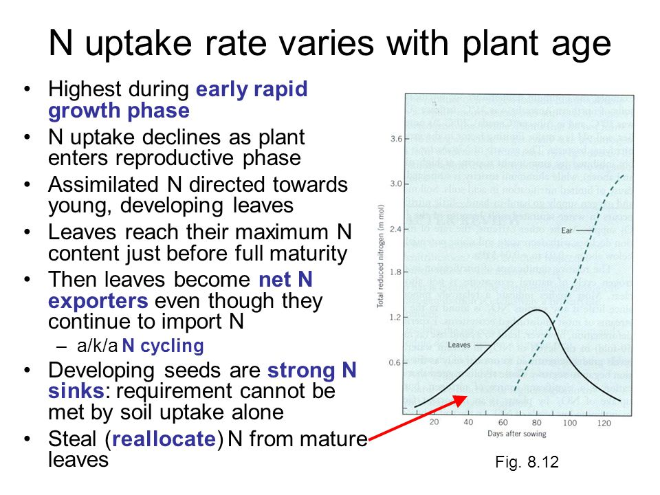 N uptake rate varies with plant age Highest during early rapid growth phase N uptake declines as plant enters reproductive phase Assimilated N directed towards young, developing leaves Leaves reach their maximum N content just before full maturity Then leaves become net N exporters even though they continue to import N –a/k/a N cycling Developing seeds are strong N sinks: requirement cannot be met by soil uptake alone Steal (reallocate) N from mature leaves Fig.