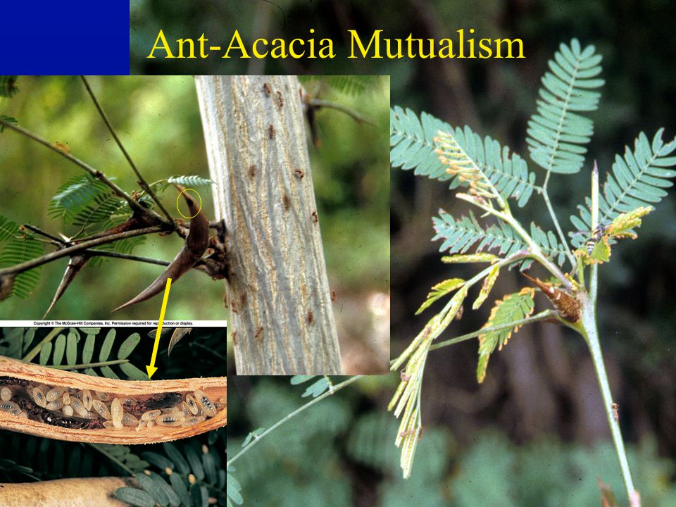 Ant-Acacia Mutualisms