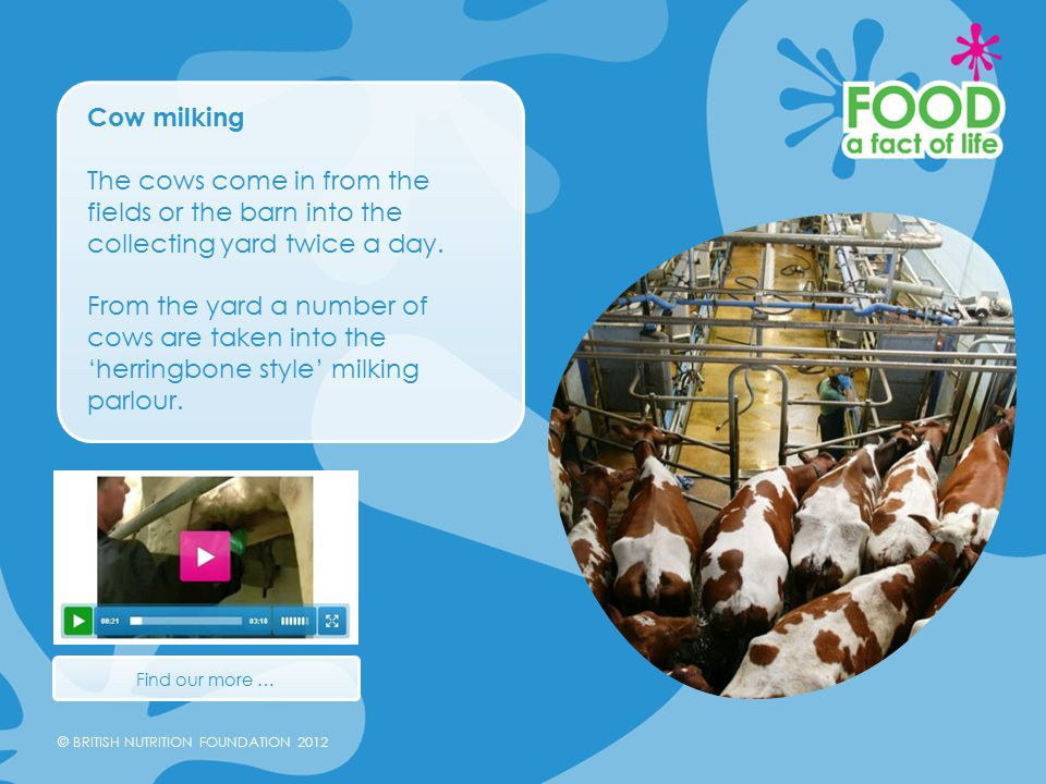 © BRITISH NUTRITION FOUNDATION 2012 Cow milking The cows come in from the fields or the barn into the collecting yard twice a day.