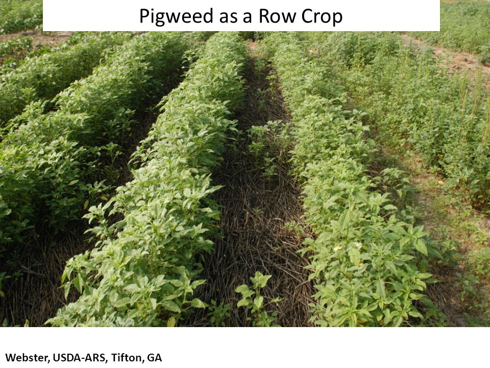Webster, USDA-ARS, Tifton, GA Pigweed as a Row Crop