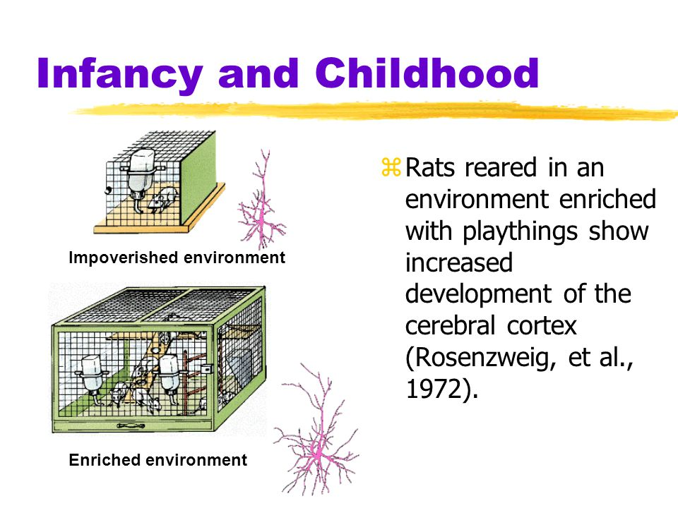 Infancy and Childhood zRats reared in an environment enriched with playthings show increased development of the cerebral cortex (Rosenzweig, et al., 1972).