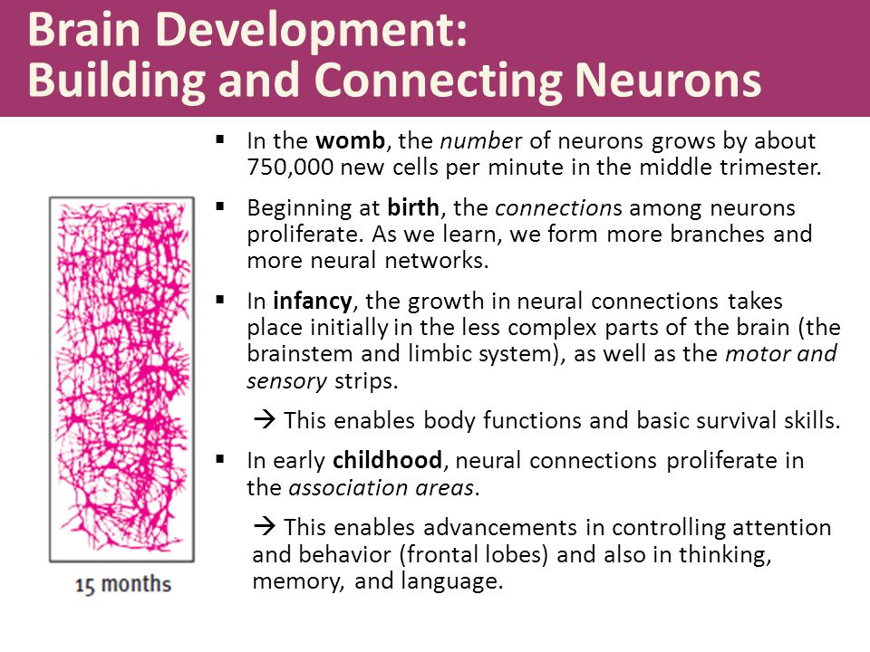 Brain Development: Building and Connecting Neurons  In the womb, the number of neurons grows by about 750,000 new cells per minute in the middle trimester.