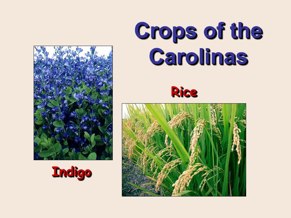 Crops of the Carolinas IndigoIndigo RiceRice