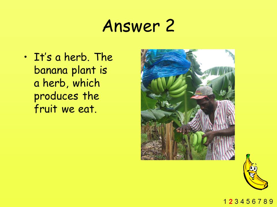 Answer 2 It's a herb. The banana plant is a herb, which produces the fruit we eat.