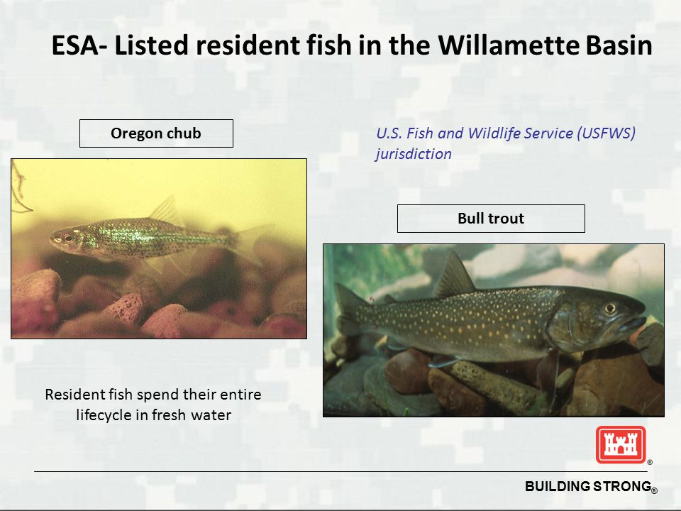 BUILDING STRONG ® ESA- Listed resident fish in the Willamette Basin Oregon chub Bull trout U.S. Fish and Wildlife Service (USFWS) jurisdiction Residen