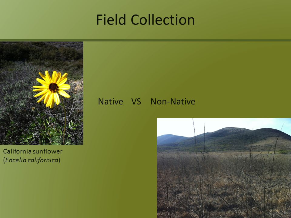 Field Collection Native VS Non-Native California sunflower (Encelia californica)