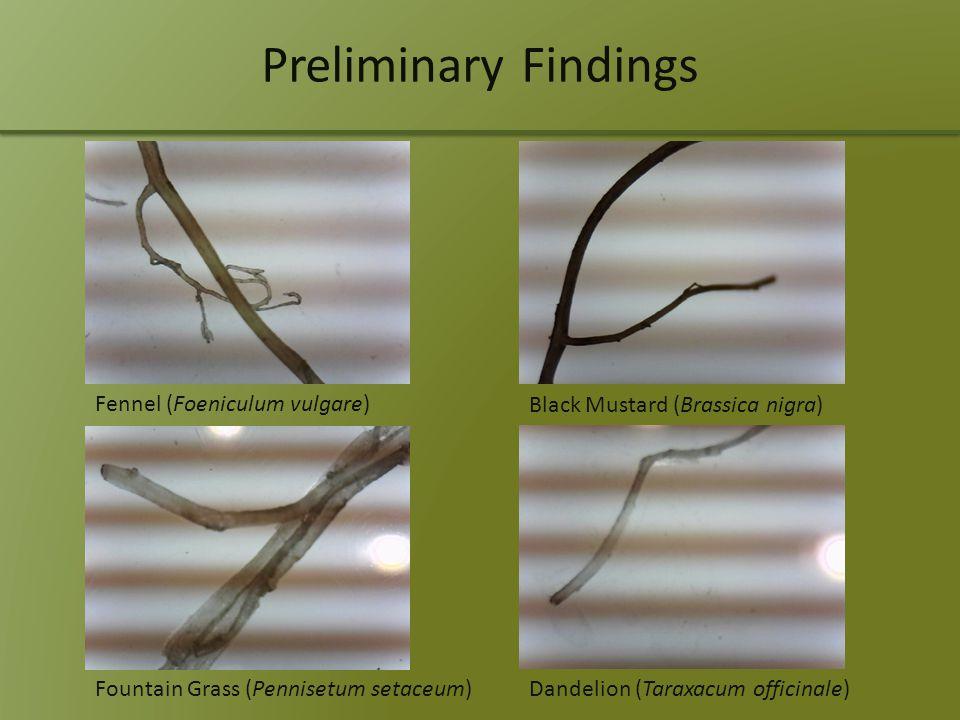 Preliminary Findings Fennel (Foeniculum vulgare) Black Mustard (Brassica nigra) Fountain Grass (Pennisetum setaceum) Dandelion (Taraxacum officinale)