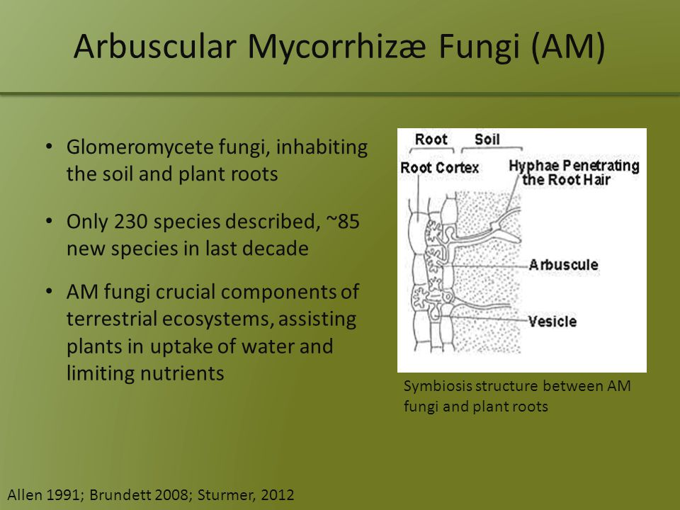 Arbuscular Mycorrhizæ Fungi (AM) Glomeromycete fungi, inhabiting the soil and plant roots Only 230 species described, ~85 new species in last decade Symbiosis structure between AM fungi and plant roots AM fungi crucial components of terrestrial ecosystems, assisting plants in uptake of water and limiting nutrients Allen 1991; Brundett 2008; Sturmer, 2012