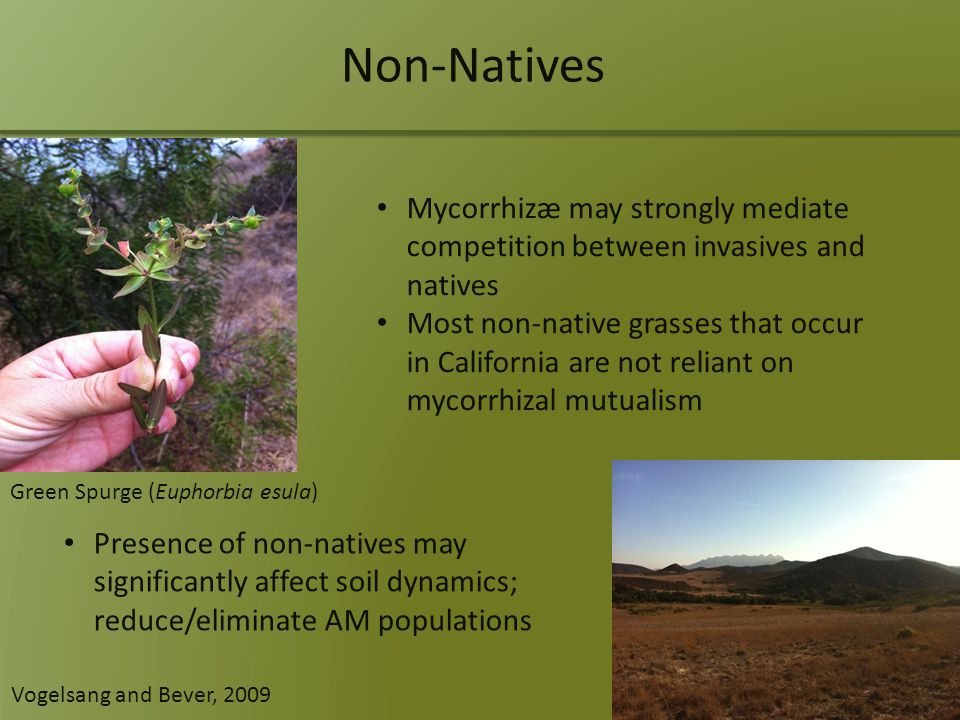 Non-Natives Mycorrhizæ may strongly mediate competition between invasives and natives Most non-native grasses that occur in California are not reliant on mycorrhizal mutualism Presence of non-natives may significantly affect soil dynamics; reduce/eliminate AM populations Green Spurge (Euphorbia esula) Vogelsang and Bever, 2009