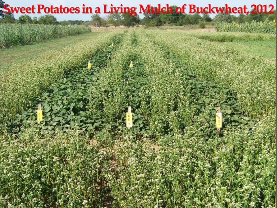 Sweet Potatoes in a Living Mulch of Buckwheat, 2012
