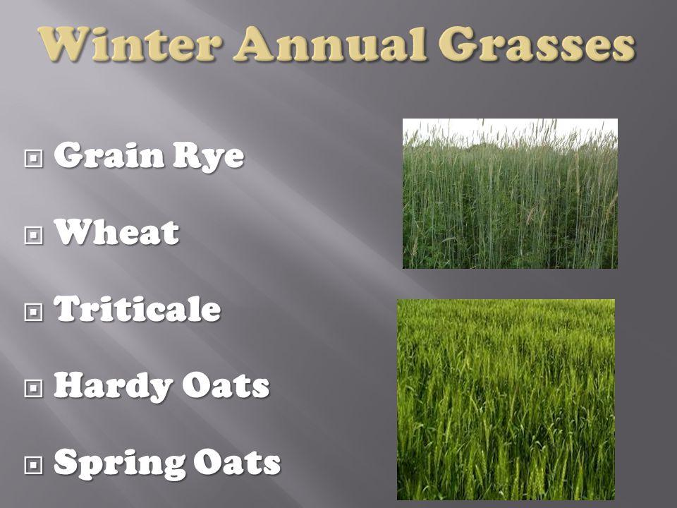  Grain Rye  Wheat  Triticale  Hardy Oats  Spring Oats