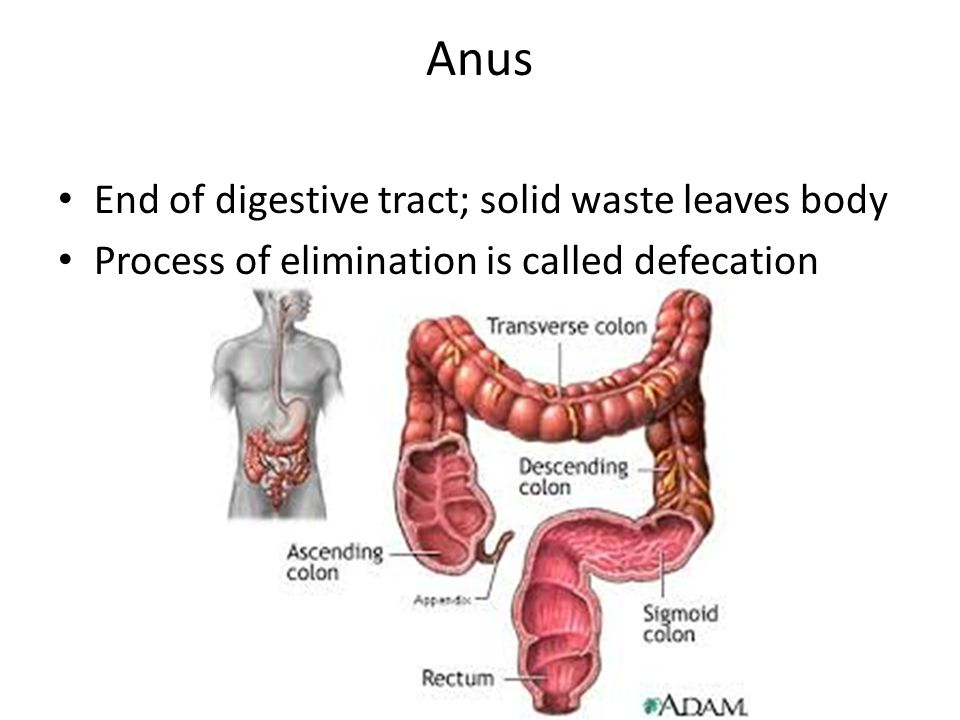 Anus End of digestive tract; solid waste leaves body Process of elimination is called defecation
