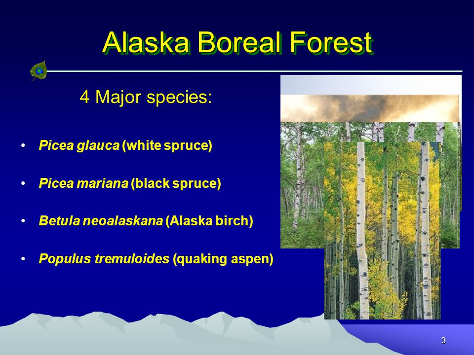 3 Alaska Boreal Forest 4 Major species: Picea glauca (white spruce) Picea mariana (black spruce) Betula neoalaskana (Alaska birch) Populus tremuloides (quaking aspen)