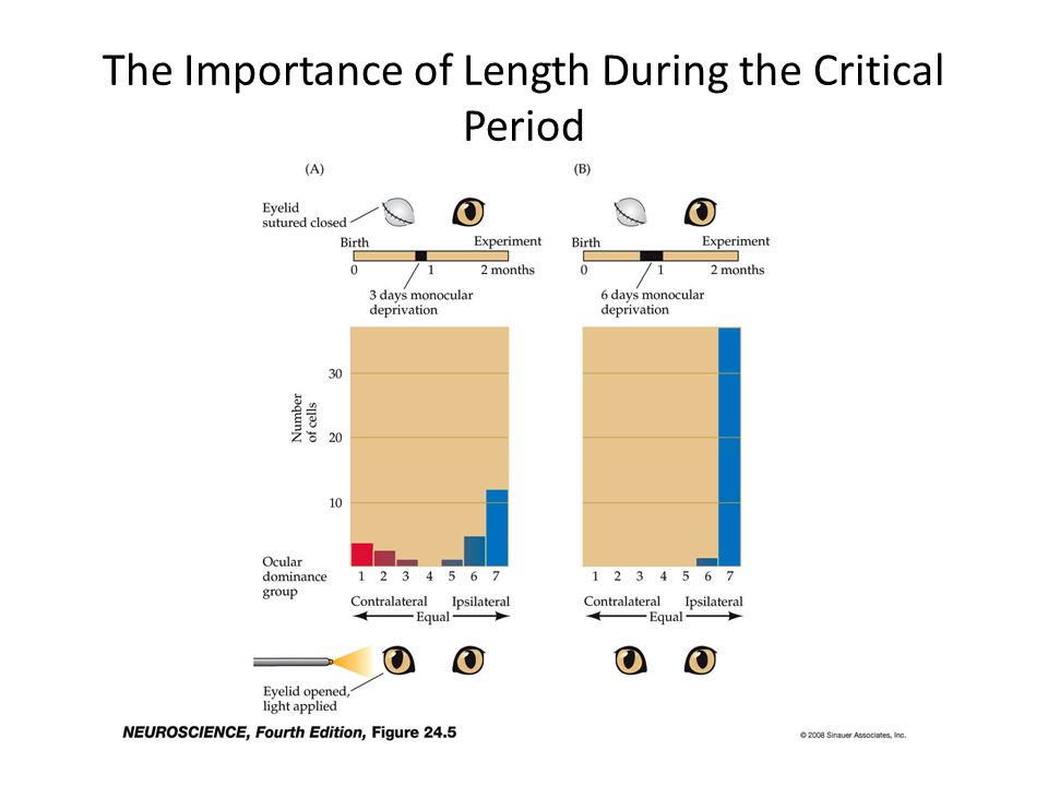 The Importance of Length During the Critical Period